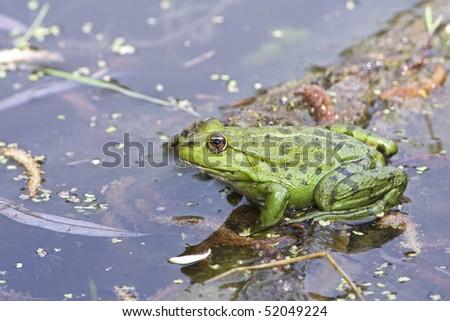 marsh frog / Pelophylax ridibundus - stock photo