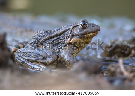 Marsh frog (Pelophylax ridibundus) is the largest native frog to Europe and belongs to the family of true frogs.