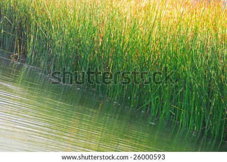marsh grasses in wetland by still rippled water