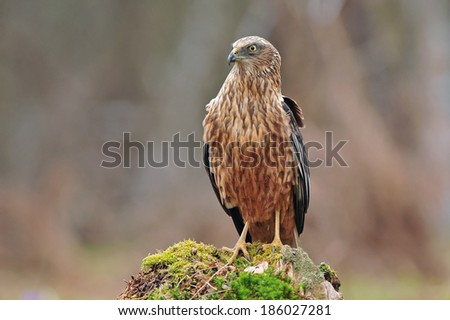 Marsh harrier - stock photo
