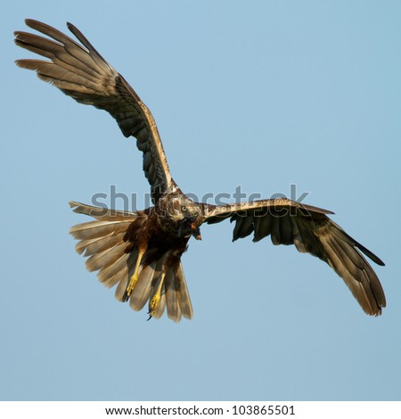 Marsh Harrier in flight and white a prey - stock photo