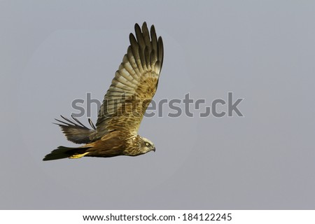 marsh harrier in flight / Circus aeruginosus - stock photo
