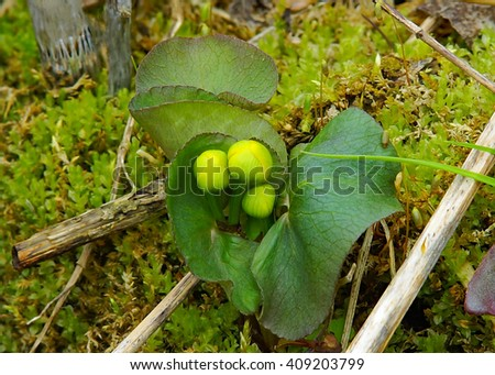 Marsh Marigold growing on bed of moss at Eloise Butler Wildflower Garden early spring 2016 - stock photo