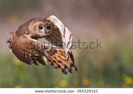 Marsh Owl in Flight