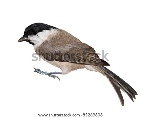 Marsh Tit isolated on white, Parus palustris