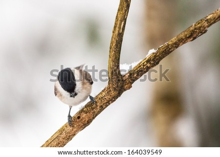 Marsh Tit on a branch in winter forest - stock photo