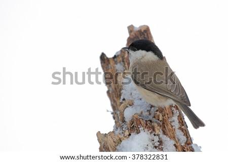 Marsh tit (Parus palustris) - stock photo