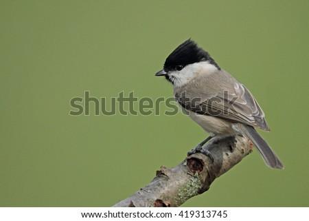 Marsh tit, (Parus palustris) - stock photo