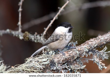 marsh tit passerine bird feeders in winter food paride search pontresina Swiss Engadine National Park - stock photo