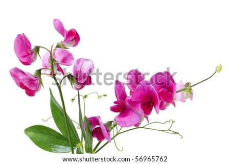 Marsh Vetchling (Marsh Pea), Lathyrus palustris  wild flowers - stock photo