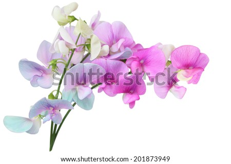Marsh Vetchling (Marsh Pea), Lathyrus palustris wild sweet pea flowers - stock photo