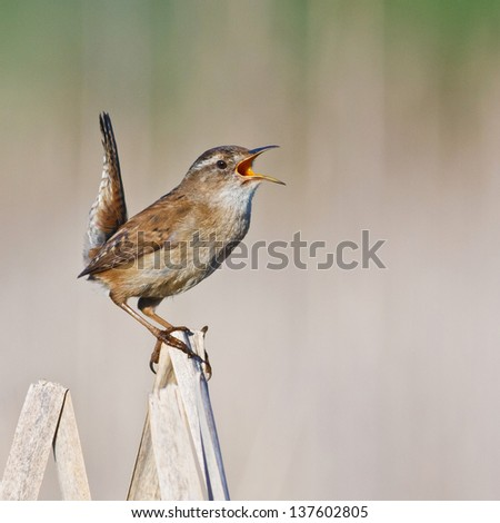 Marsh Wren singing on a dried cattail reed with tail in the air - stock photo