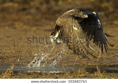 Marshall eagle takeoff from pool, Polemaetus bellicosus