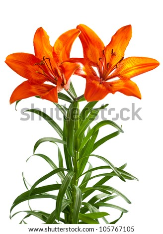 martagon lily isolated on white - stock photo