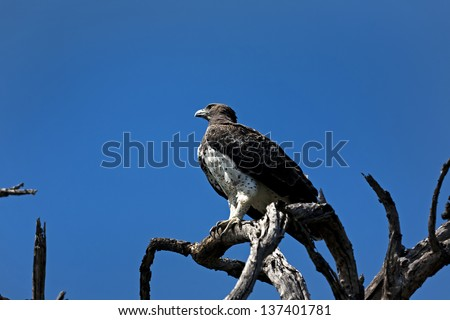 Martial Eagle in a tree - stock photo