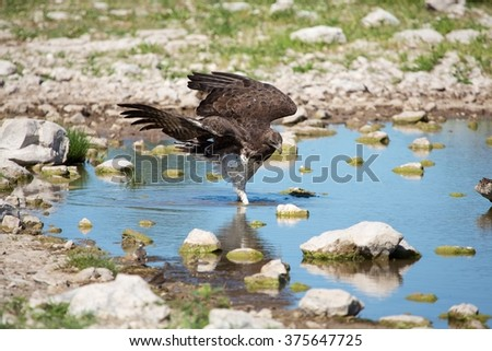 martial eagle in a waterhole at etosha