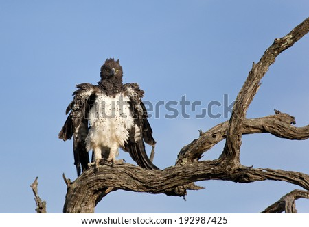 Martial Eagle (Polemaetus bellicosus), Kruger National Park. - stock photo