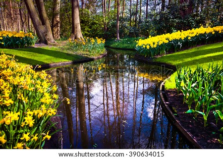 Marvellous yellow narcissus in the Keukenhof gardens. Beautiful outdoor scenery in Netherlands, Europe. - stock photo