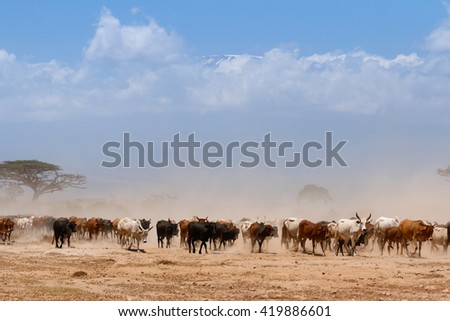 Masai cows on african savannah with Kilimanjaro backgrounds