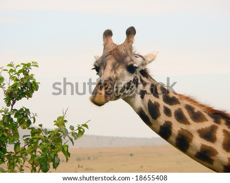 Masai Giraffe (Giraffa camelopardalis tippelskirchi) head closeup, photographed in Masai Mara, Kenya - stock photo