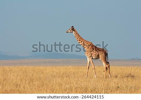 Masai giraffe (Giraffa camelopardalis tippelskirchi), Masai Mara National Reserve, Kenya - stock photo