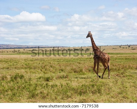Masai giraffe (Giraffa camelpardalis tippelskirchi) - stock photo