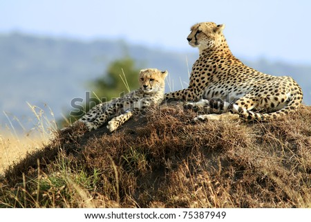Masai Mara Cheetahs - stock photo