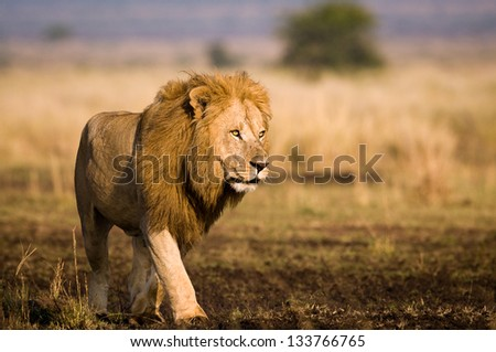 Masai Mara lion - stock photo