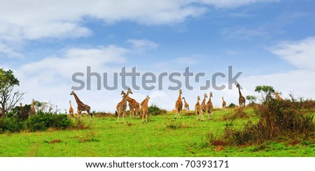 Masai race giraffes in the african savannah, the Murchison falls park, Uganda - stock photo