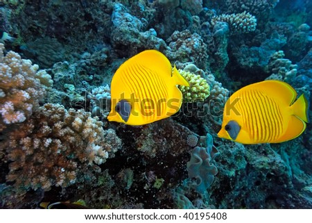 Masked baterflyfish - stock photo