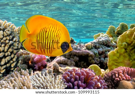 Masked Butterfly Fish. - stock photo