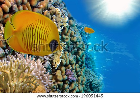 Masked Butterfly Fish and coral reef, Red Sea, Egypt.