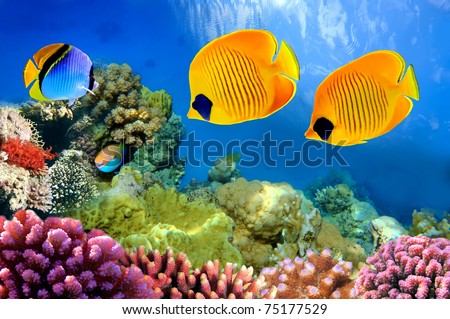 Masked butterfly fish (Chaetodon semilarvatus) - stock photo