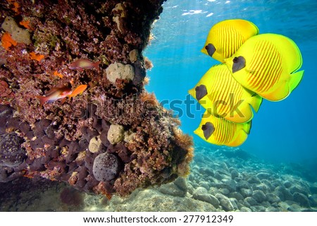 Masked Butterfly Fish on coral reef - stock photo