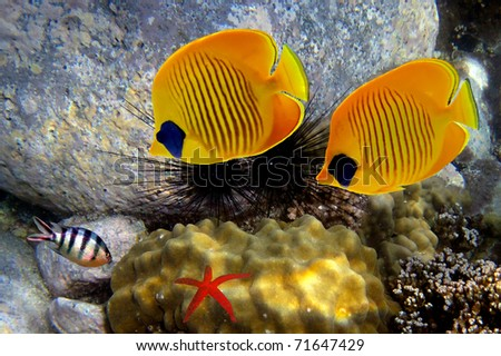 Masked butterfly fishs - stock photo