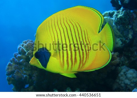 Masked butterflyfish (Chaetodon semilarvatus) in the coral reef of the red sea - stock photo