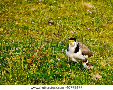 Masked Lapwing, (Vanillus Miles) or Spur wing plover with young chick - stock photo
