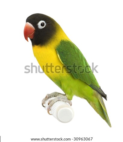 Masked Lovebird in front of a white background - stock photo