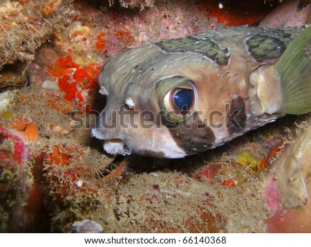 Masked porcupinefish diodon liturosus - stock photo