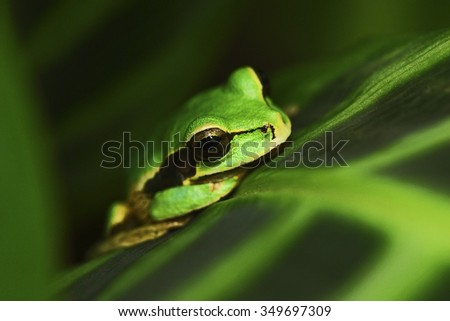 Masked Smilisca, Smilisca phaeota, exotic tropic green frog from Costa Rica, close-up portrait - stock photo