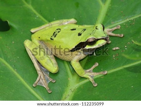 Masked Tree Frog, Smilisca phaeota - stock photo