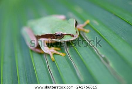 Masked Treefrog (Smilisca phaeota), Gandoca-Manzanillo Wildlife Refuge, Costa Rica - stock photo