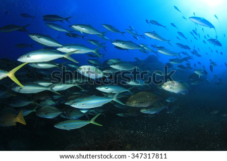 Mass swarm of predator fish hunting: Emperors. Tuna, Trevallies, Snappers, Rainbow Runners, - stock photo