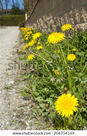 Masses of dandelions growing beside a gravel road in the country - stock photo