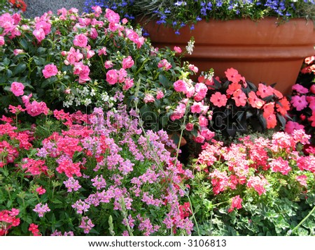 masses of flowering annuals in large clay pots - stock photo