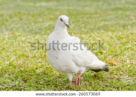 Masses Pigeons on the Grass  - stock photo