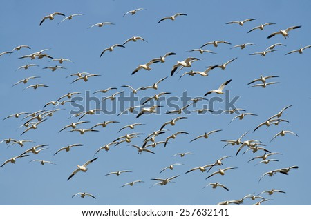 Massive Flock of Snow Geese Flying In a Blue Sky - stock photo