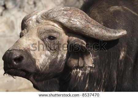 Massive head of a male Cape Buffalo