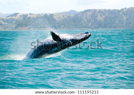 Massive humpback whale playing in water captured from Whale whatching boat. The marine giant is on its route from New Zealand to Australia - stock photo