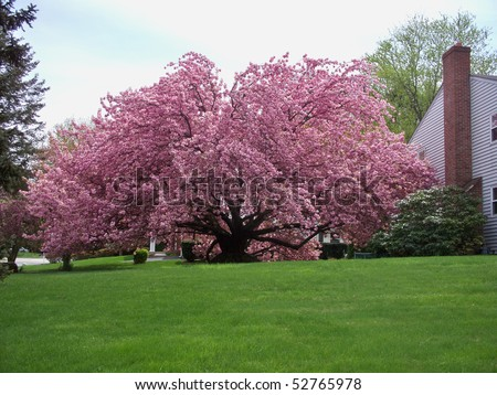Massive Kwanzan Cherry tree in a residential neighborhood; spanning aprox 80' in width